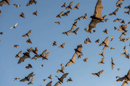 Australian flying foxes - Shutterstock