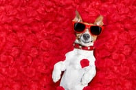 Jack Russell in love photo via Shutterstock
