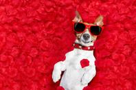 Jack Russell in love photo via Shutterstock