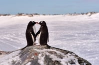 Gentoo penguins photo via Shutterstock