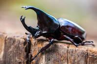 Shutterstock Rhinoceros beetle
