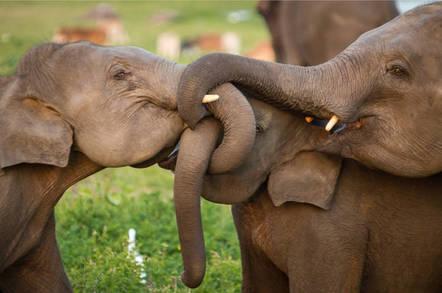 Elephants hugging . Pic by Shutterstock