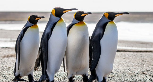 March of the penguins photo via Shutterstock