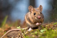 Mouse photo via Shutterstock