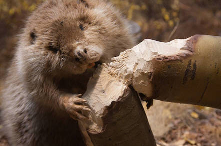 A beaver chewing down a tree
