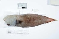 Faceless fish. Source: John Pogonoski, CSIRO, via ABC