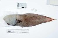 Faceless fish. Source: John Pogonoski, CSIRO, via ABC