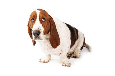 Guilty-looking basset hound. pic by Shutterstock