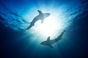 Фото акул через Shutterstock