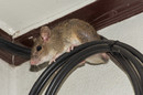 A rat sits on a fibre-optic cable