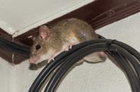 A rat sits on a fibre-optic cable