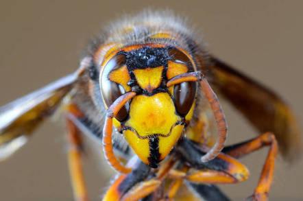 Asian hornet face. Pic: Shutterstock