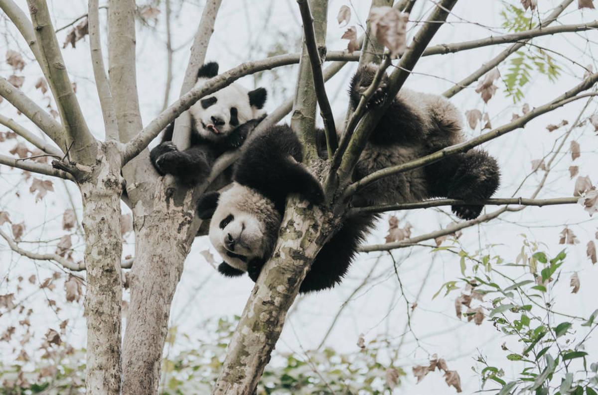 Python Explosion Blamed On Pandas The Register