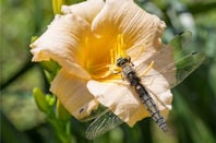 Dragonfly sits on a yellow flower
