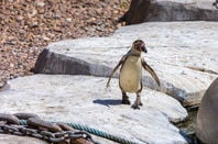 Penguin on Galapagos... chain in the foreground