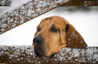 bloodhound tracks through the snow