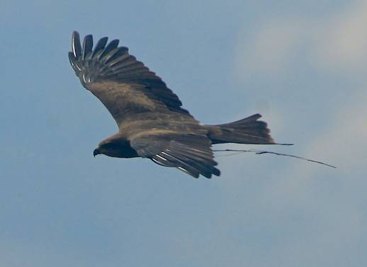 A black kite carrying grass