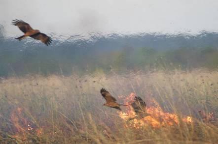 Black kites foraging near a fire
