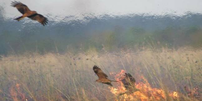 Black kites foraging near a fire