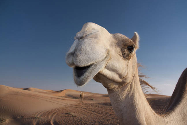 Saudi Arabian camel beauty contest disqualifies several contestants for using Botox