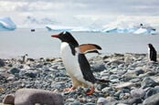 Penguins on a rocky beach in Antarctica with a ship passing ice floes in the background