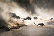 Wildebeest crossing the Mara River during the annual great migration between Tanzania and the Masai Mara in Kenya.