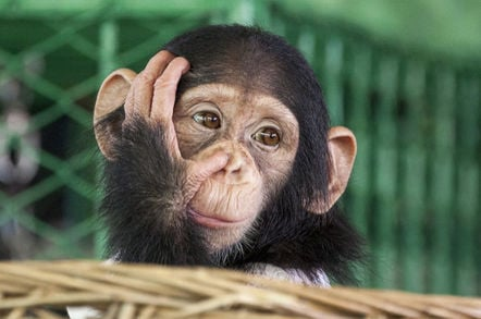 young chimpanzee looking thoughtful