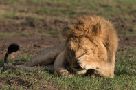 Lion does a facepalm in the Maasai Mara National Reserve in kenya