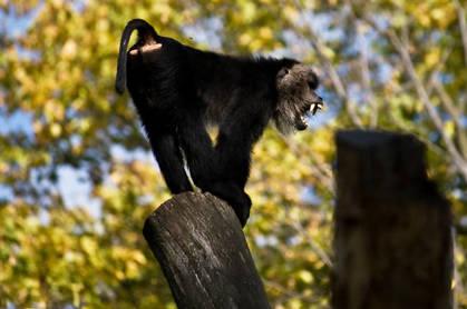 Baboon screeching on log