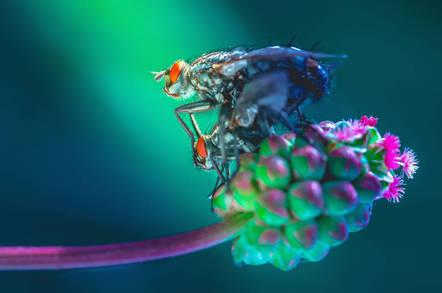 fruit_flies_shutterstock