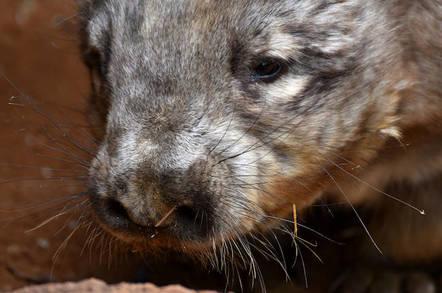 Hairy-nosed wombat - Shutterstock