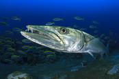 Barracuda swimming near school of fish