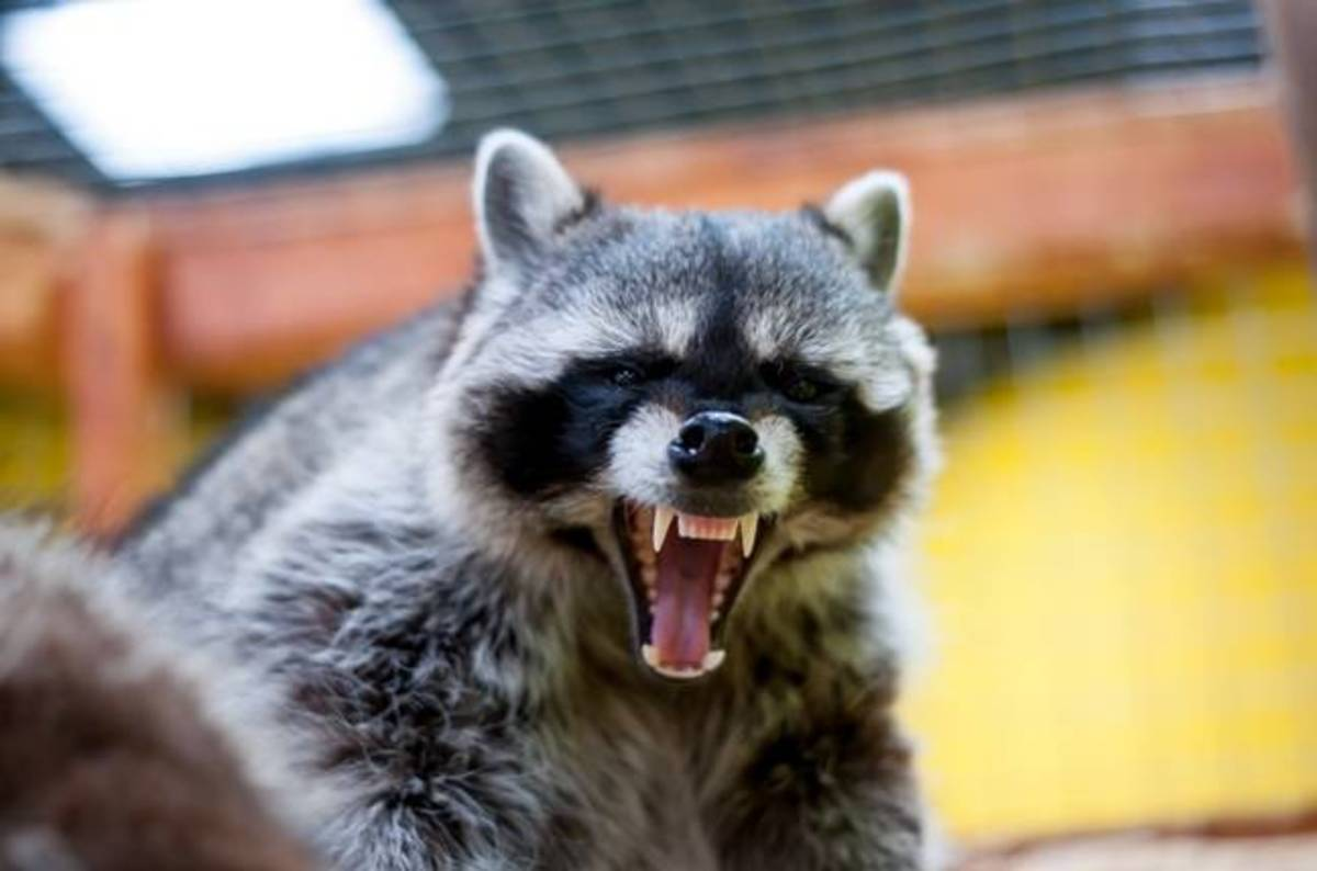 And In Current Affairs Rogue Raccoon Blacks Out City