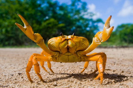 Yellow land crab