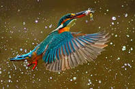 A kingfisher bird