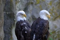 two tired-looking American bald eagles - with hooded eyes