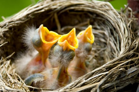 Three hungry baby Robins in a nest