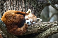 Firefox (red panda)