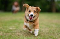 corgi_puppy