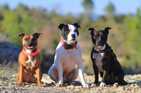 Three Staffordshire bull terriers