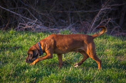 A bloodhound following a scent
