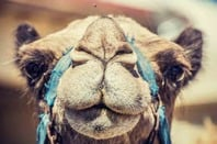 A camel, because there's no YAML image