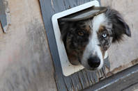 Dog looking through a doggie door