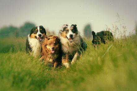 Shepherd dogs running in a field