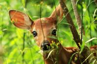 Shutterstock image of a deer