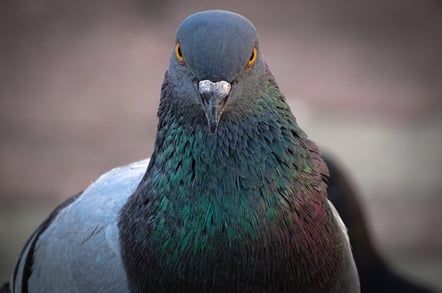 Pigeon looking menacing
