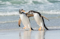 "two penguins walk along surf, ""chatting"". One embraces the other by slinging a wing over its pal's shoulder"