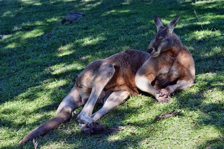 muscular kangaroo lounges in the grass, looks annoyed