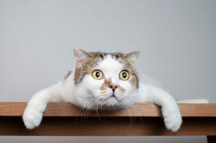 shock cat