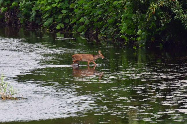 (Hydropotes inermis argyropus (korean water deer) crosses a river